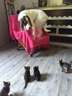 Dog meets kittens for the first time.