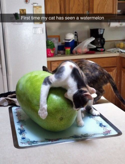 Cat on kitchen counter curiously inspecting a watermelon with open mouth.