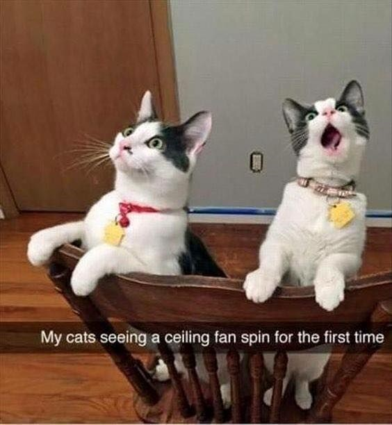 Cats freaking out at seeing a ceiling fan in a snapchat image.