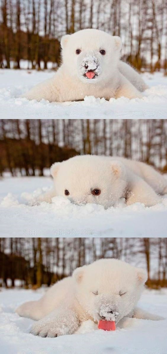 Polar cub's first snow.