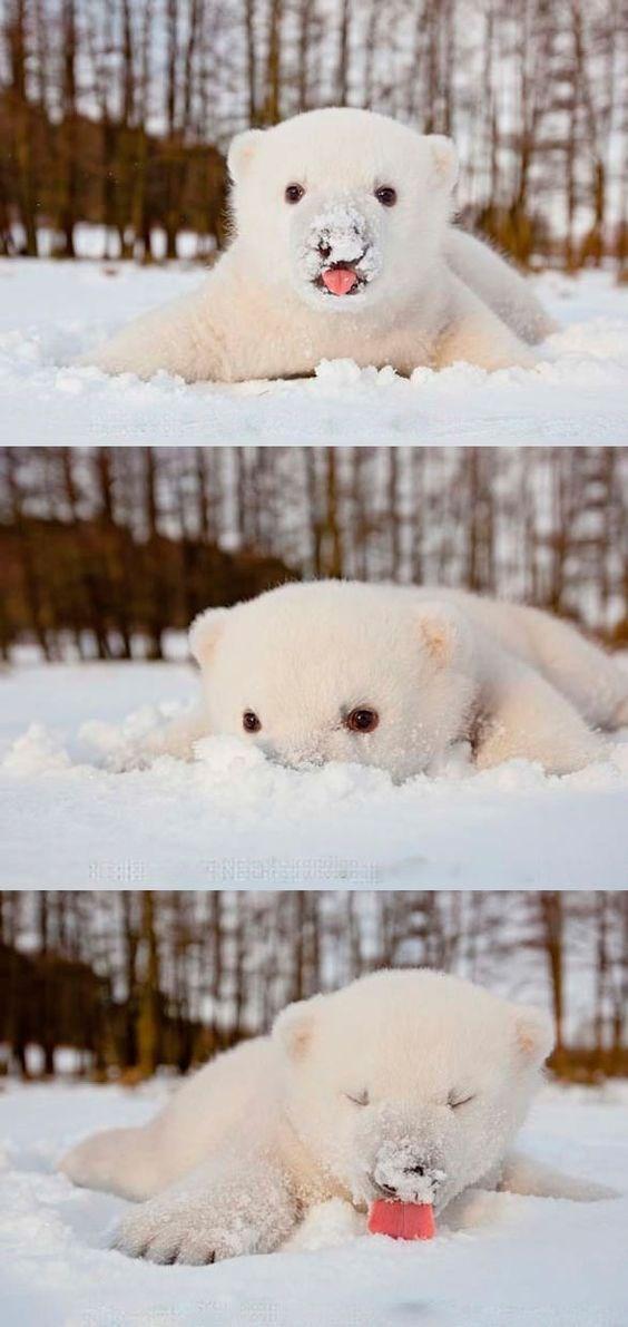 Polar cub's first snow.