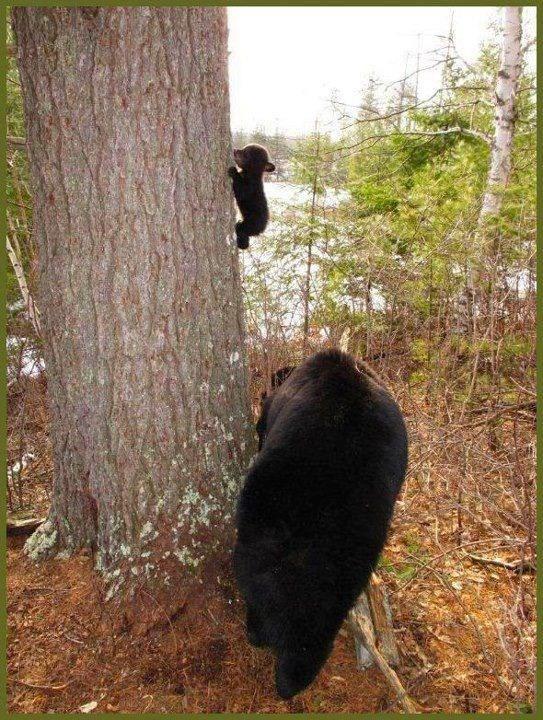 Big massive bear teaches tiny cub how to climb a tree.