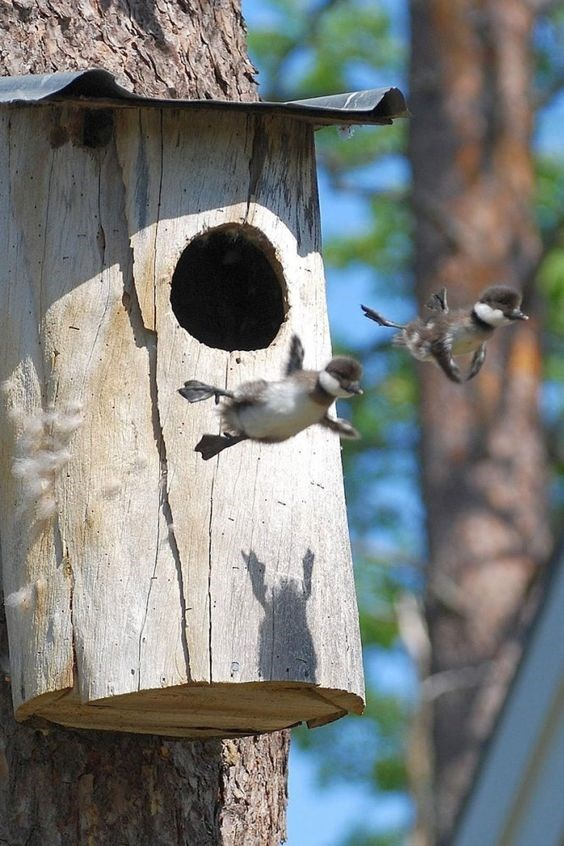 Cute baby birds jumping out of a man-made birdhouse.
