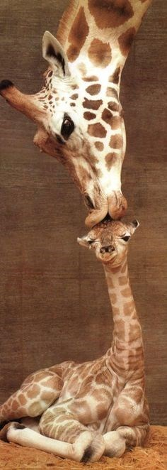 Big giraffe leaning down and giving a kiss to the top of the head of a cute little baby giraffe.
