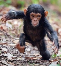 Very cute little chimp taking a walk.