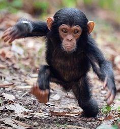 Very cute little chimp taking a walk.