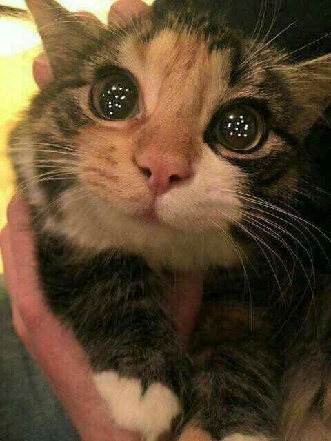 Wide-eyed kitten that looks hypnotized, with stars in his eyes, said to be memorized by a Christmas tree.