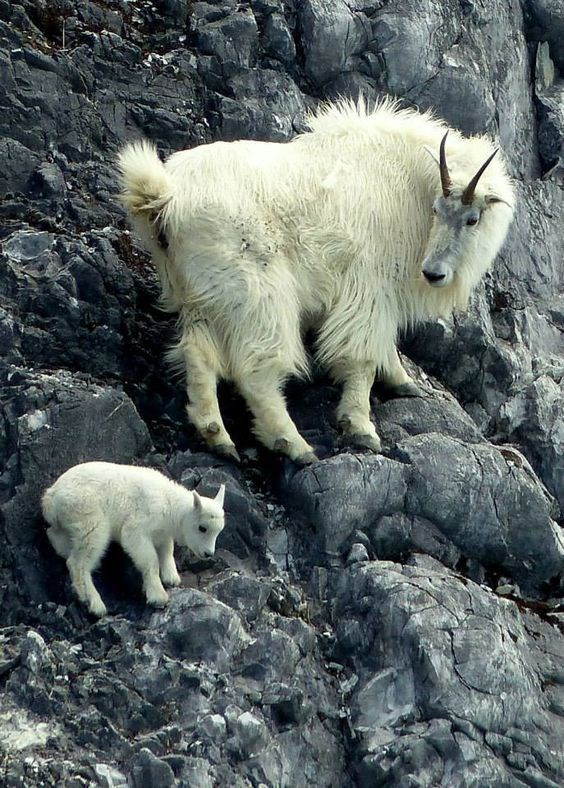 Mountain goat momma and baby climbing up a rocky cliff, with baby looking hesitant and mother glaring at him impatiently.