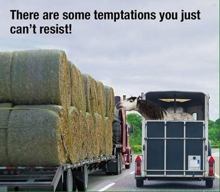 pic of a horse traveling in a trailer reaching to eat from a truck transporting hay