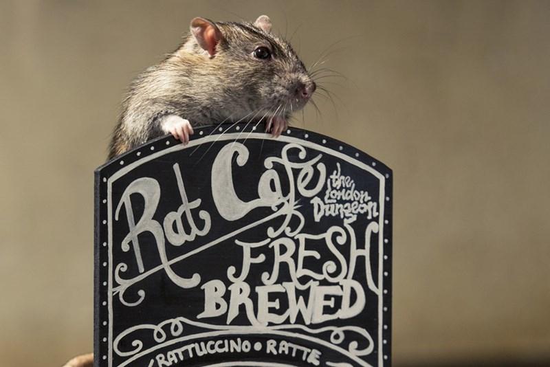 Rat - Ras Cofo FRESH BRENED FoOMdon Dngeyn RATTUCCNO RATTE