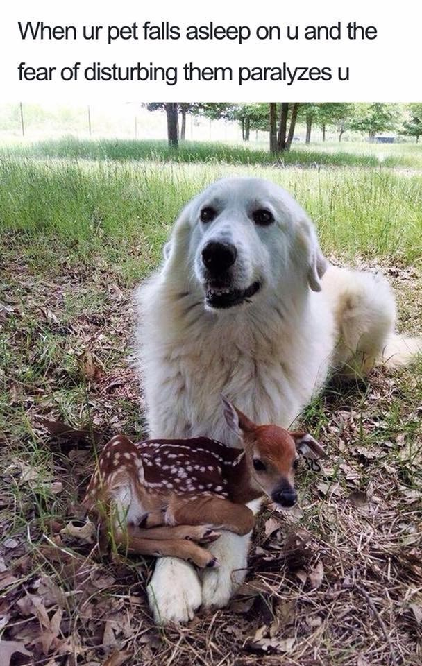 Cute meme of a deer resting on the forelegs of a gentle large dog.