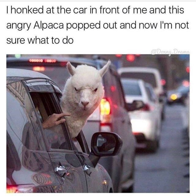 Funny meme about an alpaca popping its head out of a car when someone honked their horn.