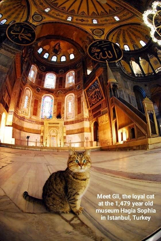 Cat - Jetos Meet Gli, the loyal cat at the 1,479 year old museum Hagia Sophia in Istanbul, Turkey