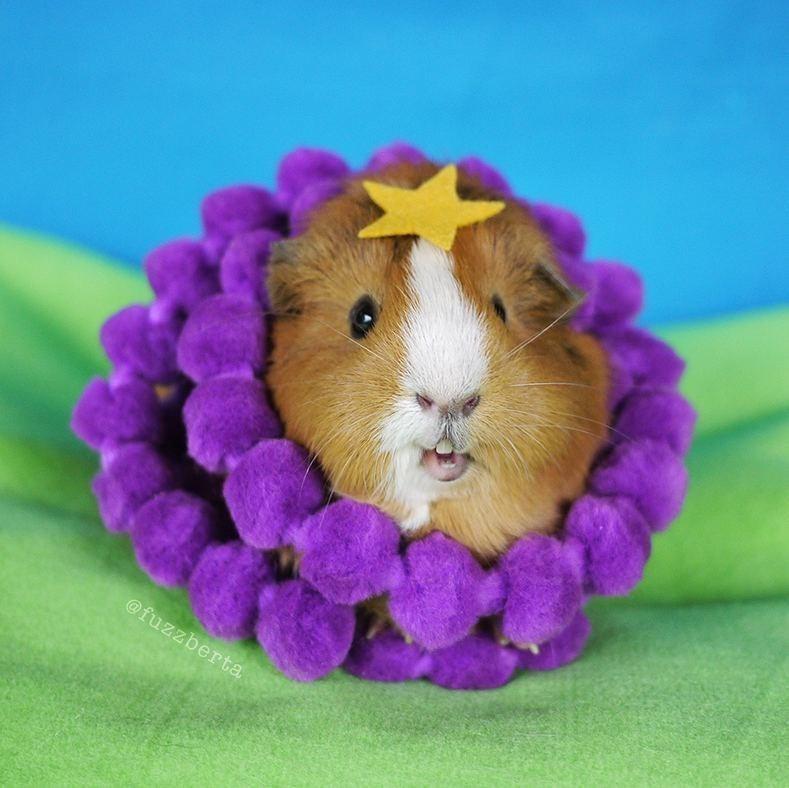 Guinea pig - @fuzzberta