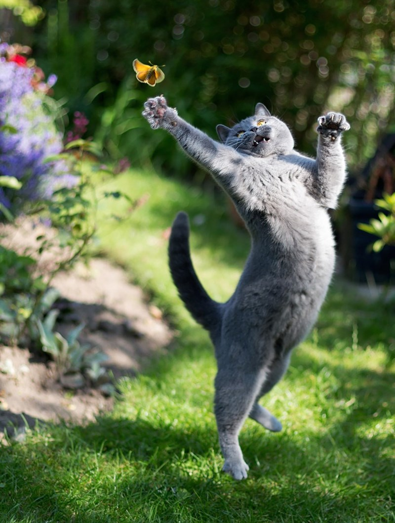 Perfectly timed photograph of a cat jumping and stretching to swipe at a yellow butterfly.