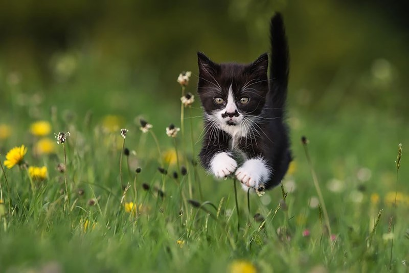 Black and white kitten running fast through a field of green with some yellow flowers.