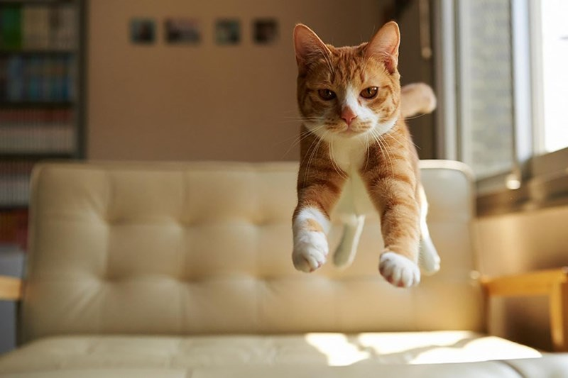 Photo of a cat in mid-air over the couch.