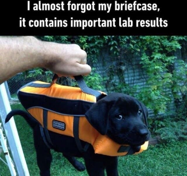 A funny memes of a black baby labrador dressed up as a briefcase and its owner making an funny comment about forgetting important lab...papers