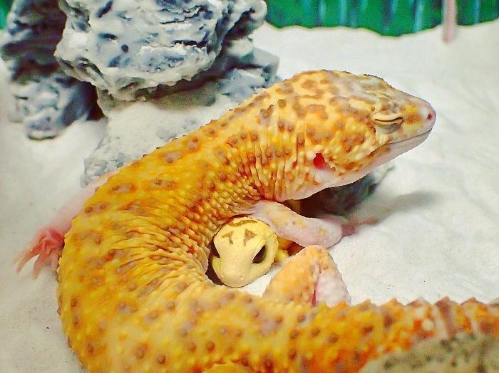 gecko happy with his toy - Organism