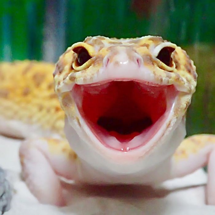gecko happy with his toy - Facial expression