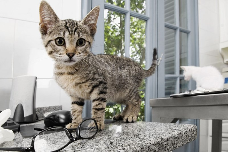 Cute kitten on top of the kitchen counter.
