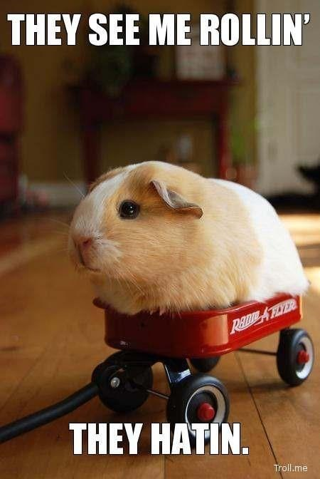 A meme of a guinea pig in a small trolley with caption about 'they see me rolling, they hating'