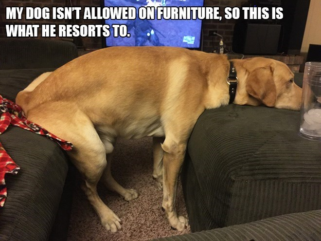 Dog breed - MY DOG ISNT ALLOWED ON FURNITURE, SO THIS IS WHAT HE RESORTS TO.