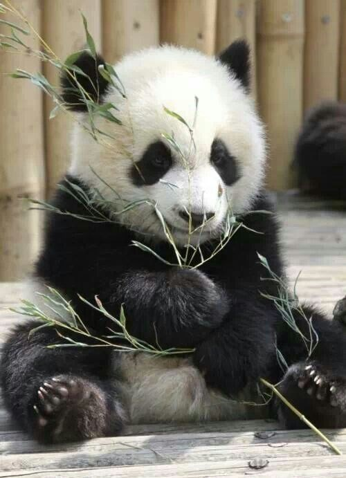 Very cute picture of a panda sitting and eating some branches.