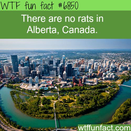 Metropolitan area - WTF fun fact #6850 There are no rats in Alberta, Canada. wtffunfact.com