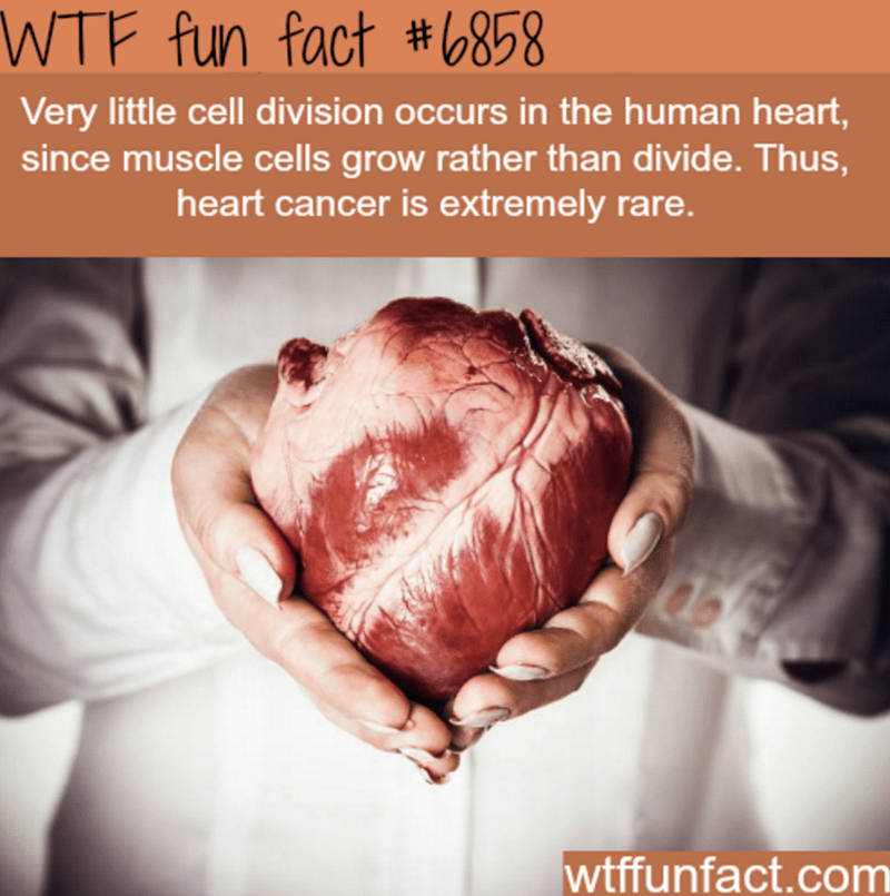 People - WTF fun fact #6858 Very little cell division occurs in the human heart, since muscle cells grow rather than divide. Thus, heart cancer is extremely rare. wtffunfact.com