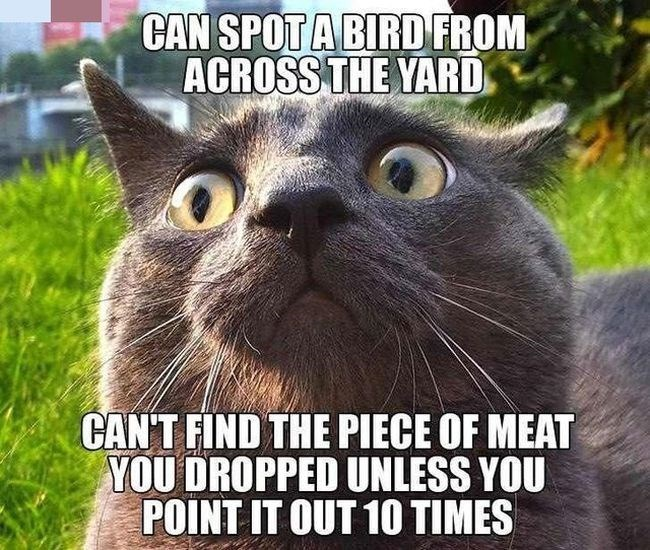 Cat - CAN SPOT A BIRD FROM ACROSS THE YARD CAN'T FIND THE PIECE OF MEAT YOU DROPPED UNLESS YOU POINT IT OUT 10 TIMES