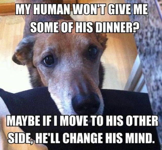 Dog breed - MY HUMAN WONT GIVE ME SOME OF HIS DINNER? MAYBE IF I MOVE TO HIS OTHER SIDE HE'LL CHANGE HIS MIND.