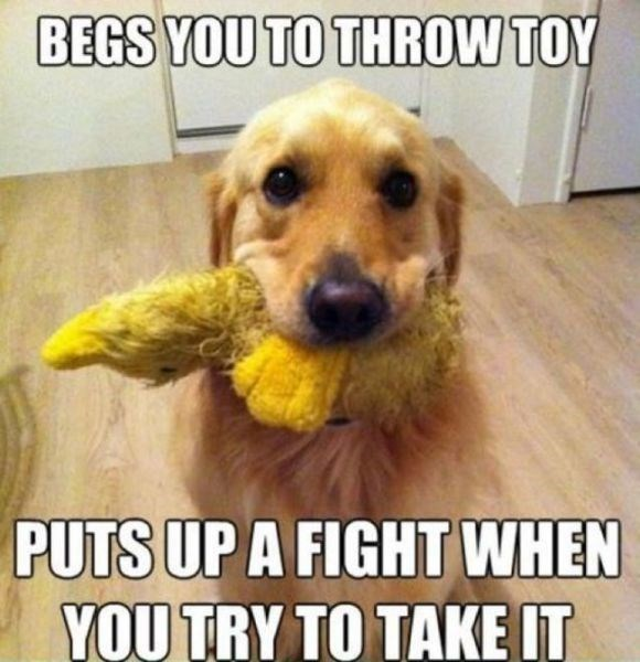 Dog - BEGS YOU TO THROW TOY PUTS UP A FIGHT WHEN YOUTRY TO TAKE IT