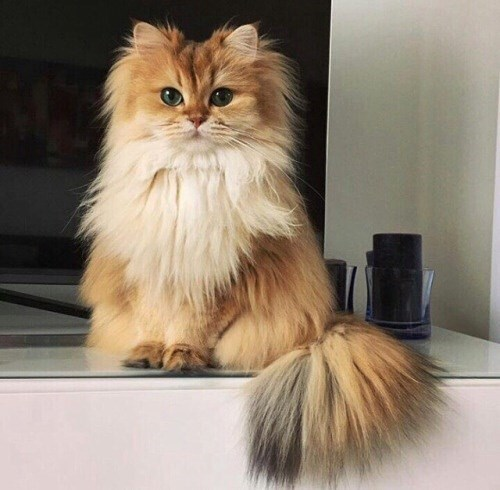Furry cat standing on a TV stand with paws politely in the front.