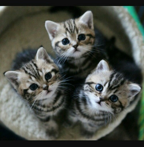 three cute kittens looking upwards at the camera from their bucket