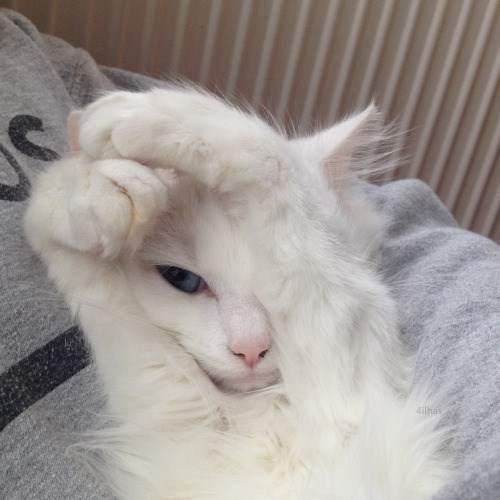 furry white kitten with his hands raised as if in a defensive position