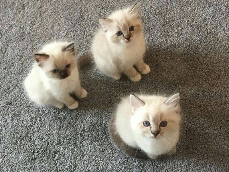 three very cute white kittens on grey carpeting