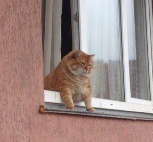 fat cat hanging out the window