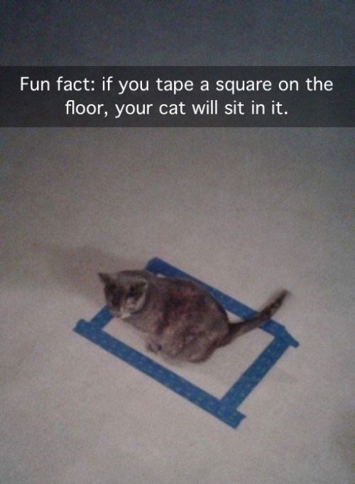 Cat - Fun fact: if you tape a square on the floor, your cat will sit in it.