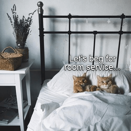 Cats in bed joking that they should beg for room service.
