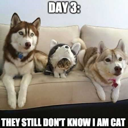 A picture of two huskys and in the middle a cat dressed as a husky, stating they haven't noticed she's a cat.