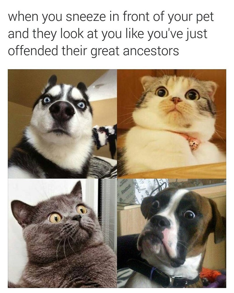 funny meme about when you sneeze in front of your pet and the look horrified as if you insulted their ancestors.
