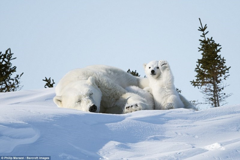 comedy wildlife pics - Polar bear - Philip Marazzi/ Barcroft Images