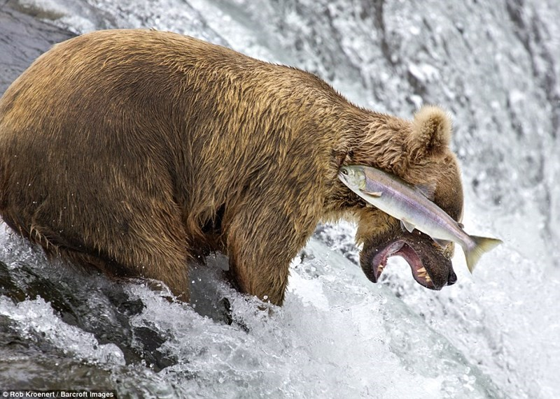 comedy wildlife pics - Brown bear - Rob Kroenert/ Barcroft Images