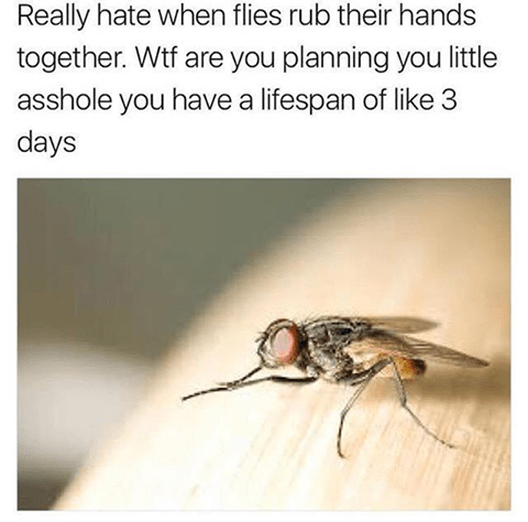 Funny meme about how flies are always looking like they are plotting something when they rub their arms together, despite having a short lifespan.