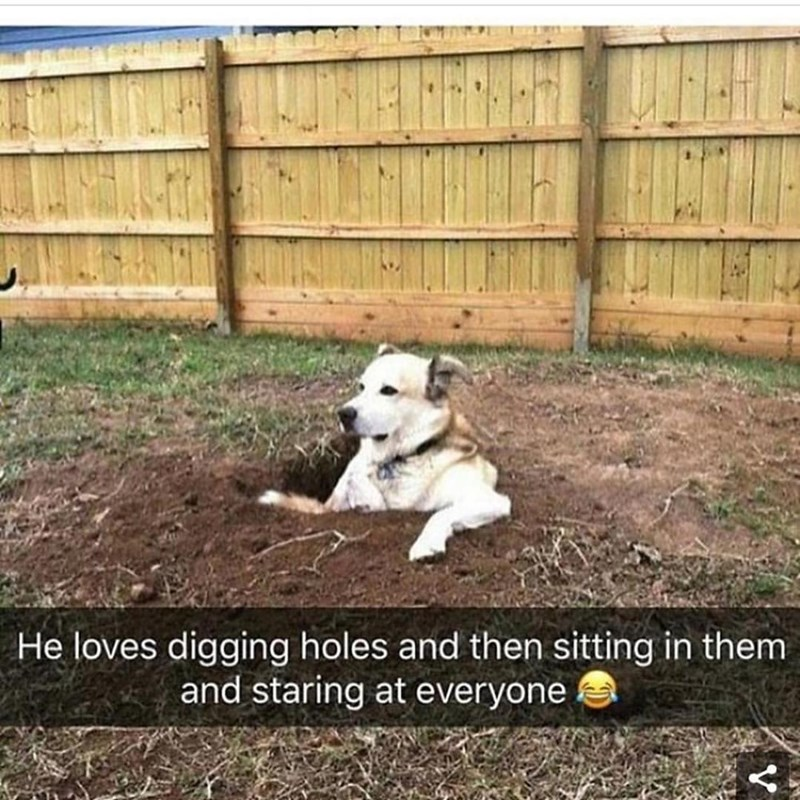Funny meme about a dog who digs holes and then sits in them an stares at people, he looks very relaxed.