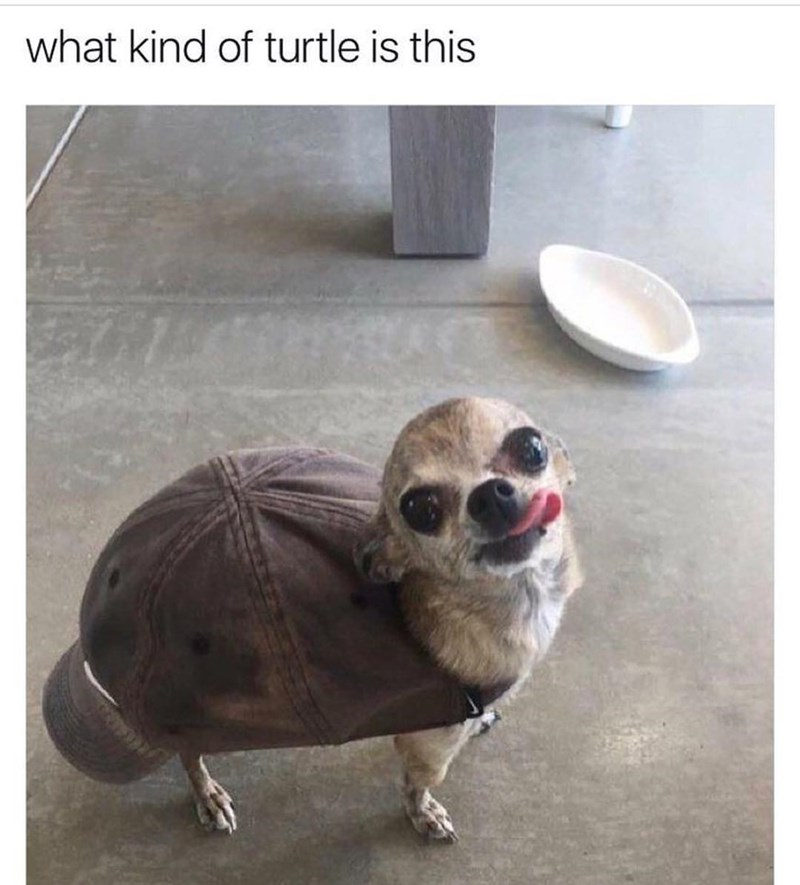 "Funny meme of a chihuahua inside a baseball cap, the caption says "" what turtle is this?"""
