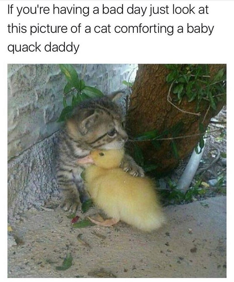 Cute photo of kitten comforting a baby duck.