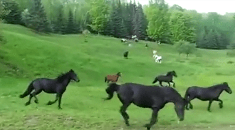 Awesome video of wild horses running over hills of green in the wild, with a very satisfied expression grunt of freedom.