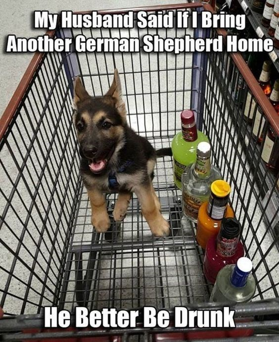 Dog - My Husband Said IfI Bring Another German Shepherd Home He Better Be Drunk